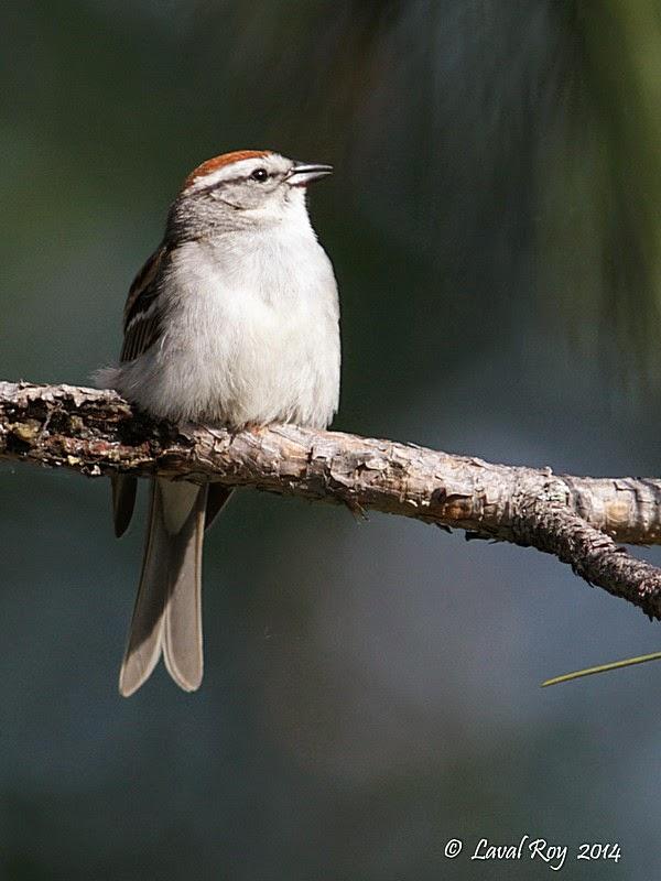 Des oiseaux sur ma route ao t 2014 for Oiseau domestique interieur