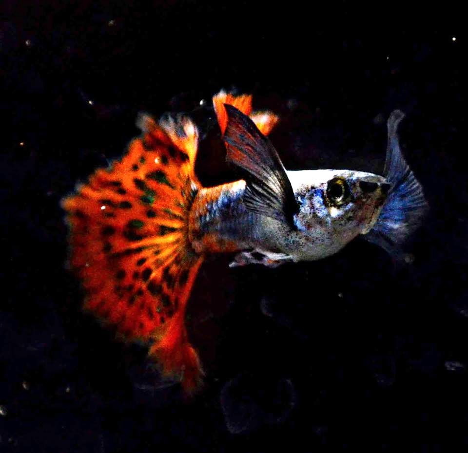 Swordtail Guppies: May 2015