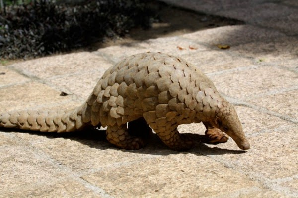 Image result for pangolin creative commons