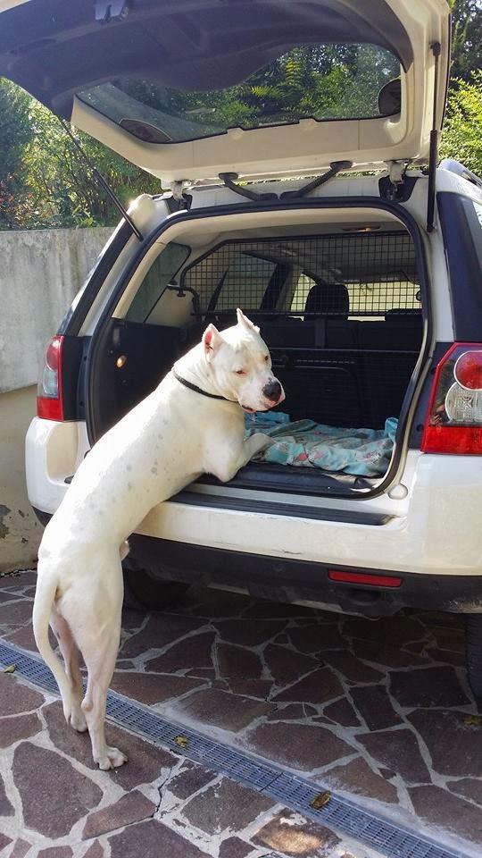 Dogo Argentino Italia