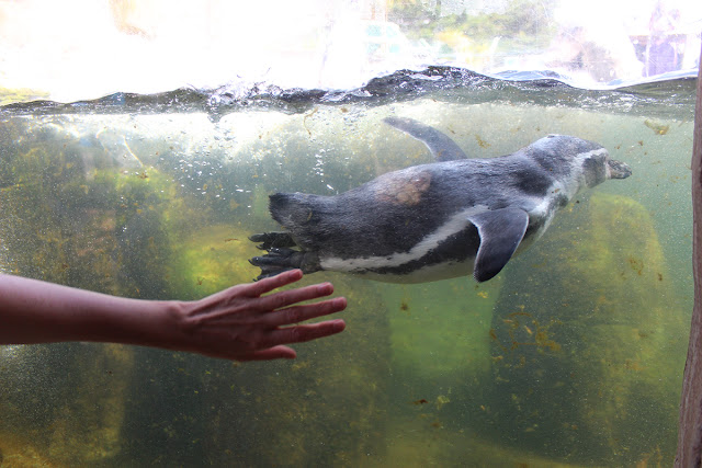 swimming-penguin-sealife-weymouth-todaymyway.com
