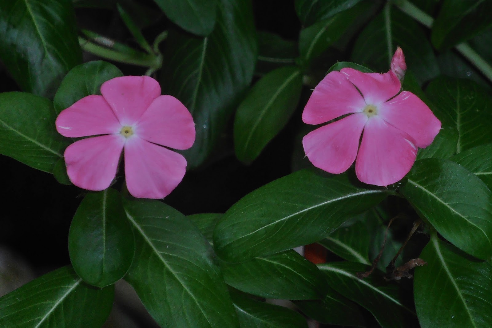 Uses of the Madagascar Periwinkle