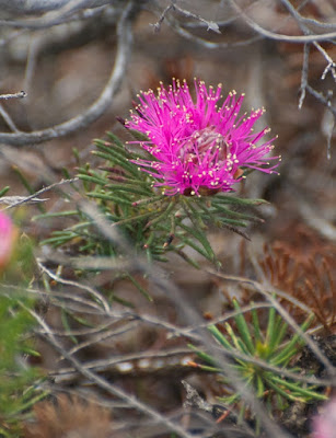 Rough Honey-Myrtle (Melaleuca scabra group)