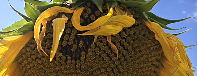 Herbstbanner Sonnenblume Angelbird
