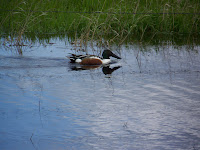 Northern Shoveler