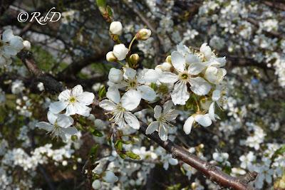 blommande träd. foto: Reb Dutius