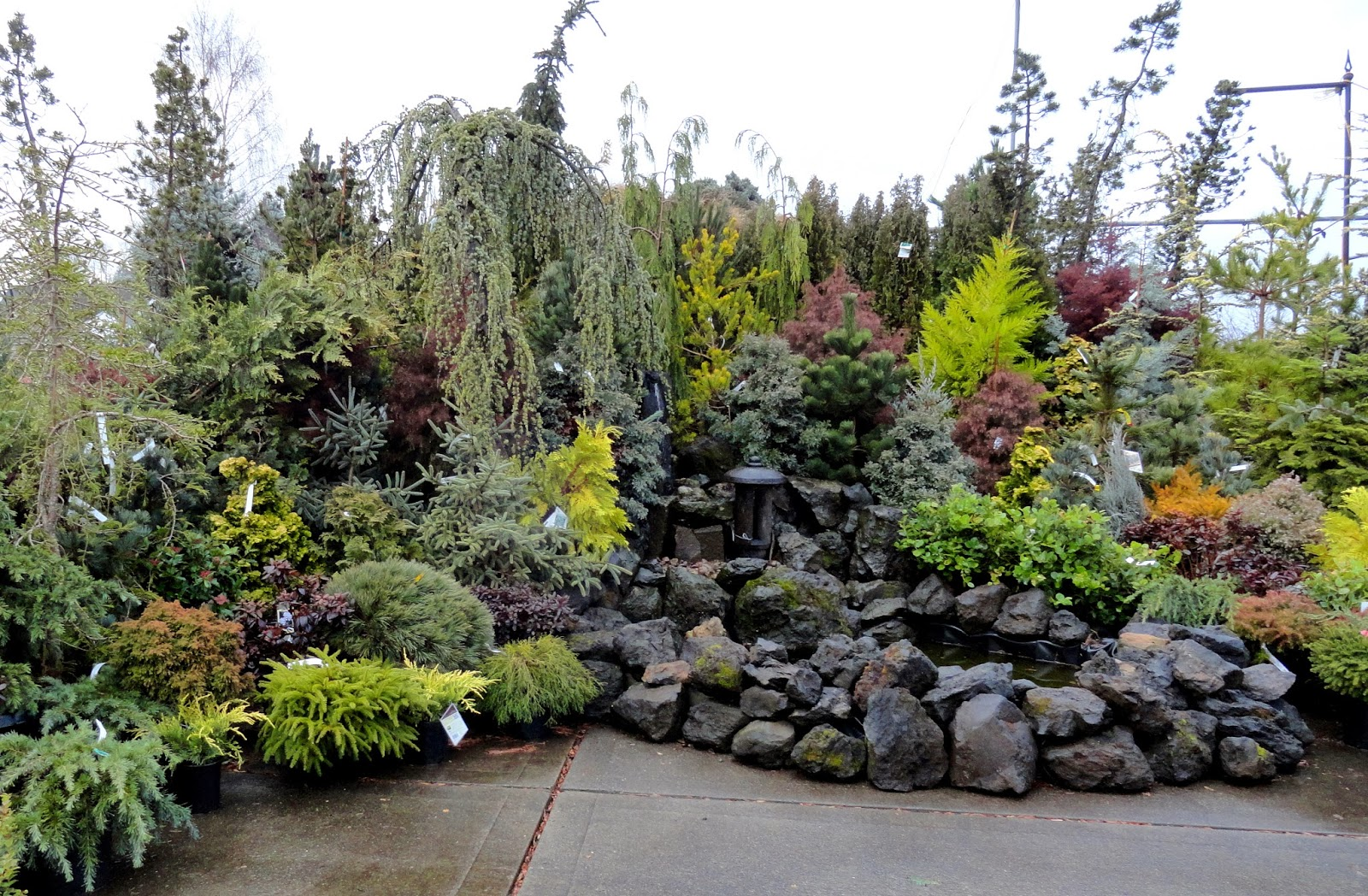 Colorful Conifers At Portland Nursery