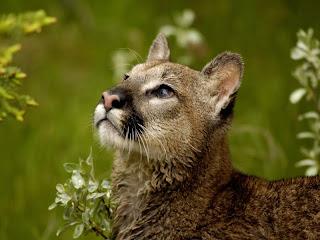 ملف كامل عن اجمل واروع الصور للحيوانات  المفترسة   حيوانات الغابة  9