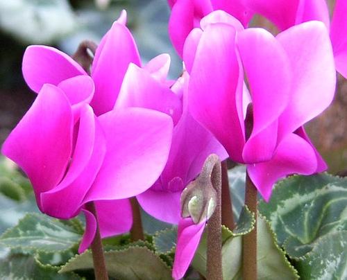 Coltivazione ciclamino piante in fiore e il mio giardino for Tutto x giardino