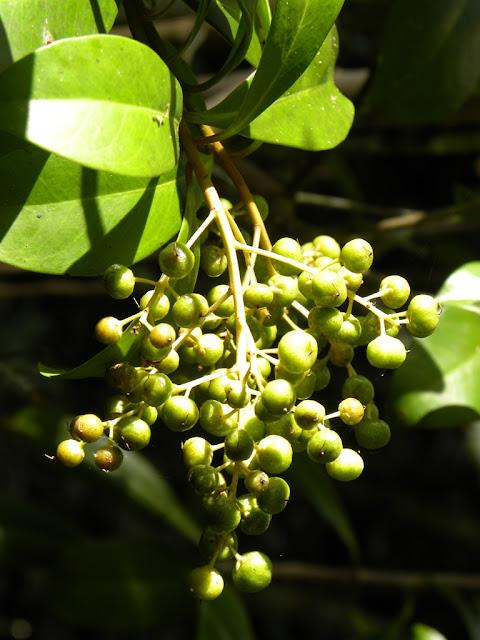 Mahogany Hammock Everglades