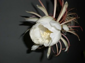 bunga wijaya kusuma mekar in images
