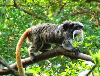 Monyet Emperor Tamarin