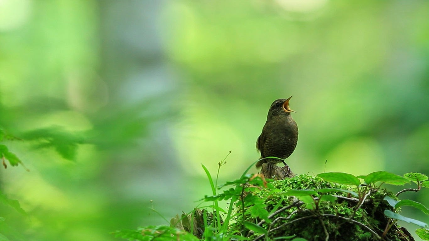 Eurasian wren in Kōfu, Tottori, Japan (© Photo: CorbisMotion/Music: Getty Images) 283