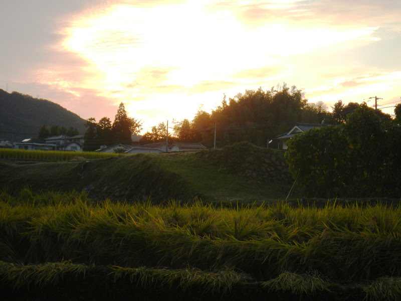 Harvest time in southern Japan