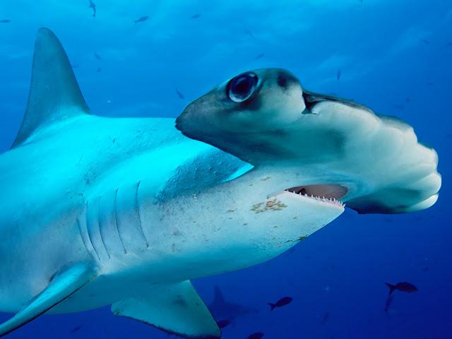 صورة جميلة جدا لسمكة قرش نوع همر