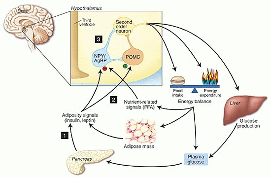 hormon leptin abnehmen