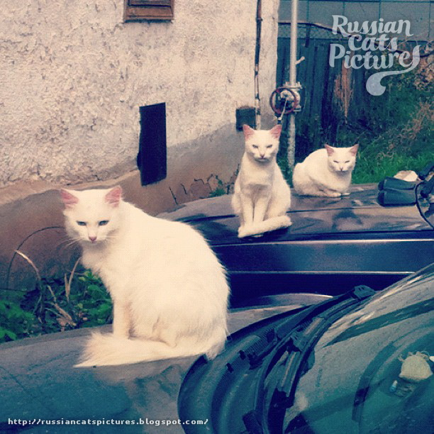 Instacats and Cars Cat 01