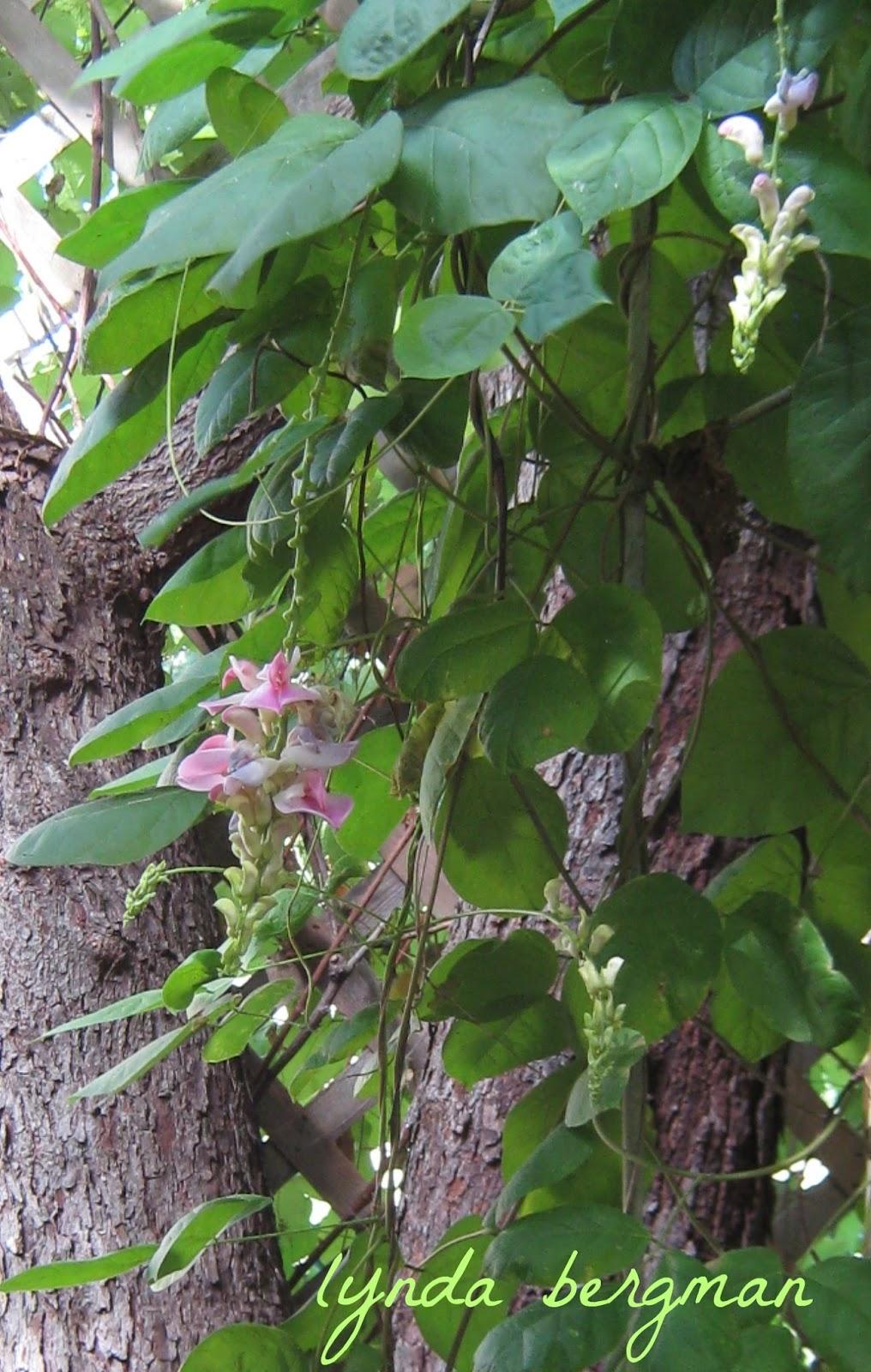 Birds Daffodils Help Me Identify This Beautiful Pink Flowering Vine