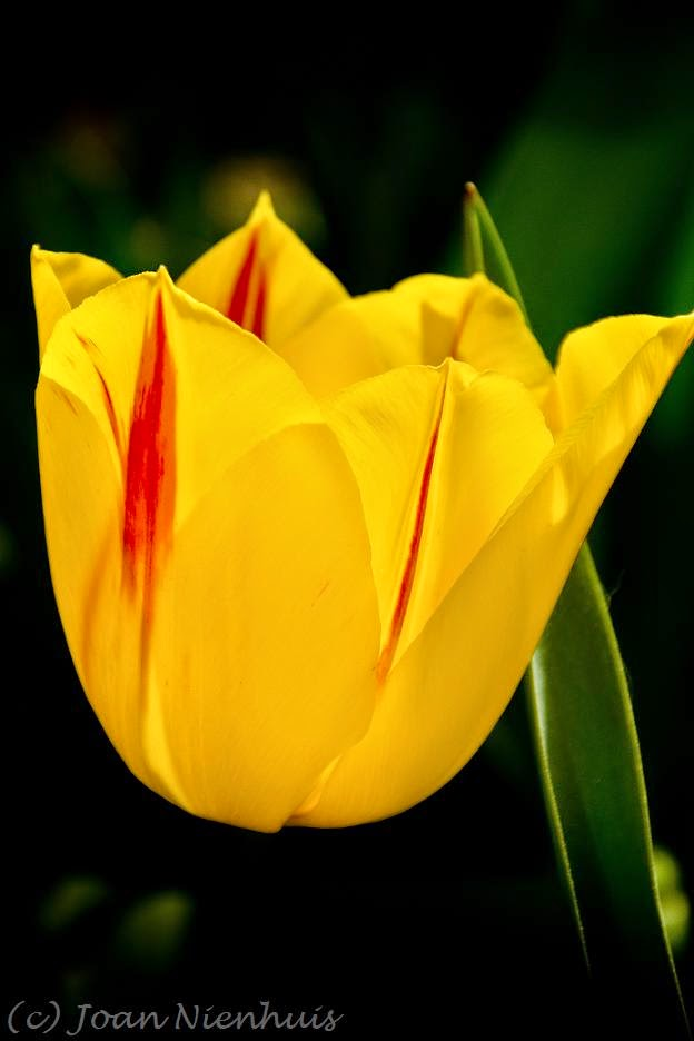 Pacific northwest photography last tulip of the season for What season are tulips