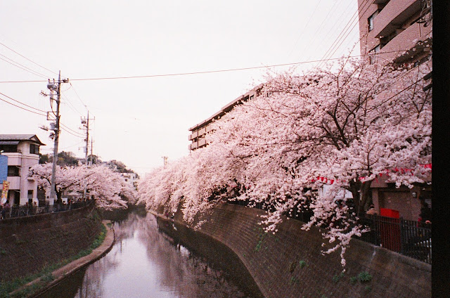 Sakura Cherry Blossoms Spring Japan Gumyoji