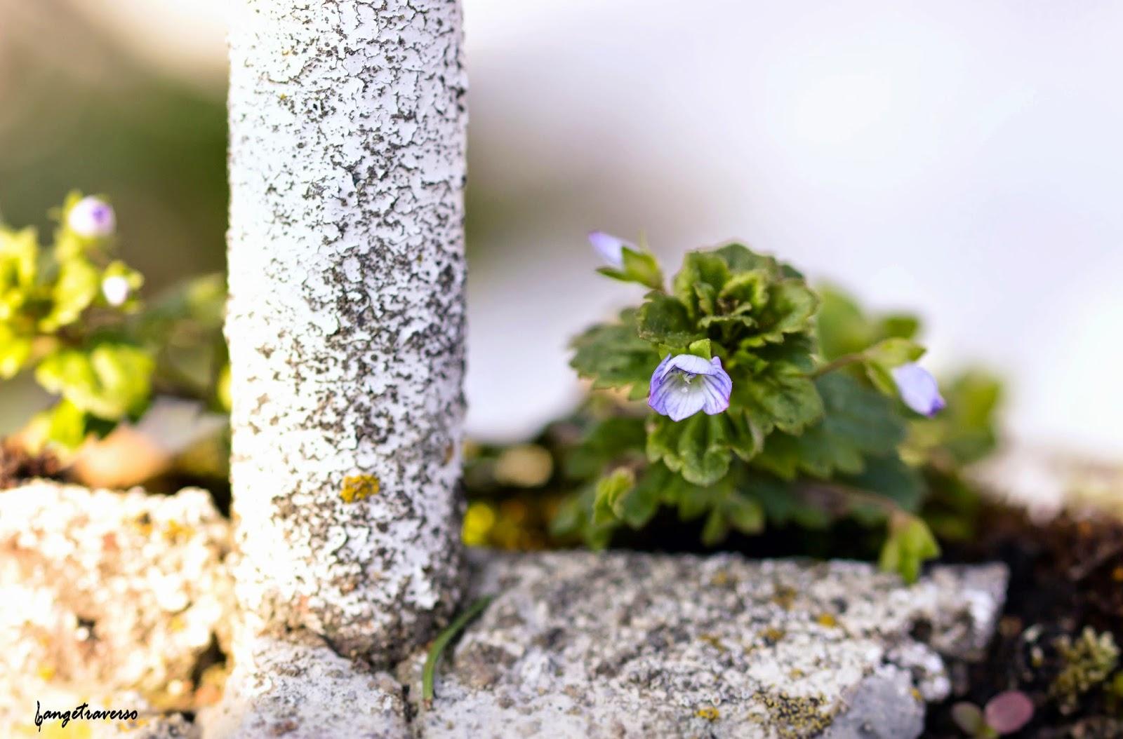 Fleur de printemps, macro, véronique