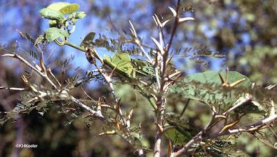 ant-acacia