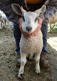 2012 Ram Lamb