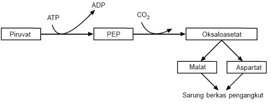 Gambar 1. Reaksipenangkapan CO 2 tanaman C4 di daerah mesofil