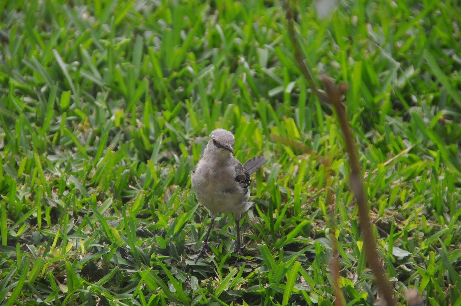 nicaraguan backyard birds