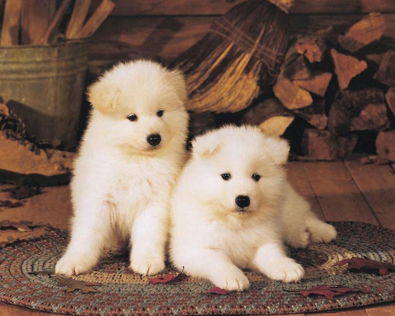 White Akita Puppies Free Download Wallpaper