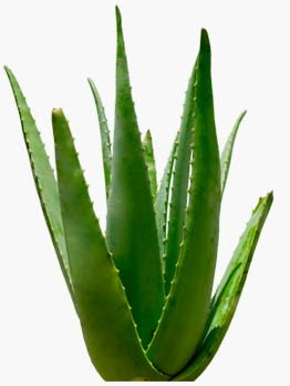 aloe vera the miracle plant everybody knows aloe vera is great for