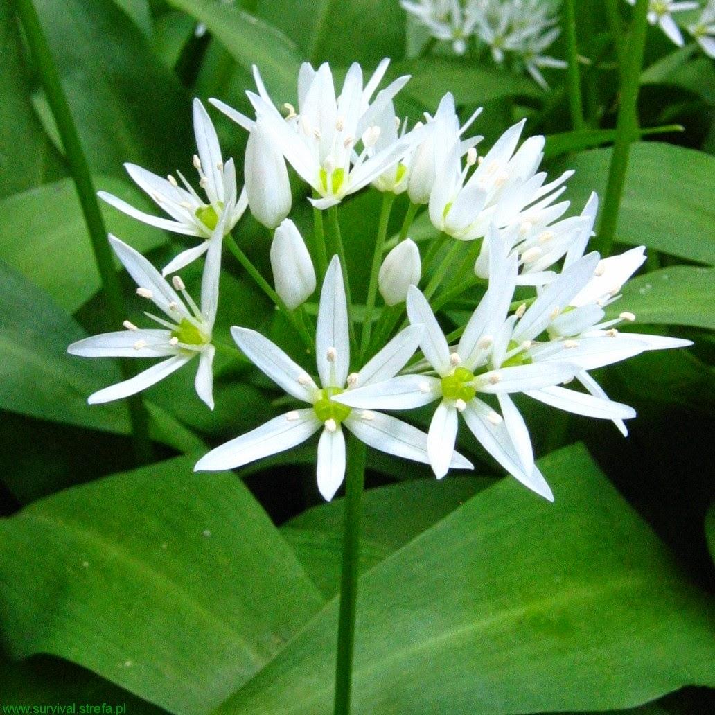 CZOSNEK NIEDŹWIEDZI Allium ursinum kwiat