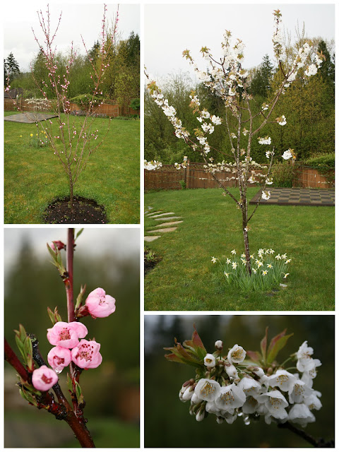 Frost peach and Rainier cherry blossoms
