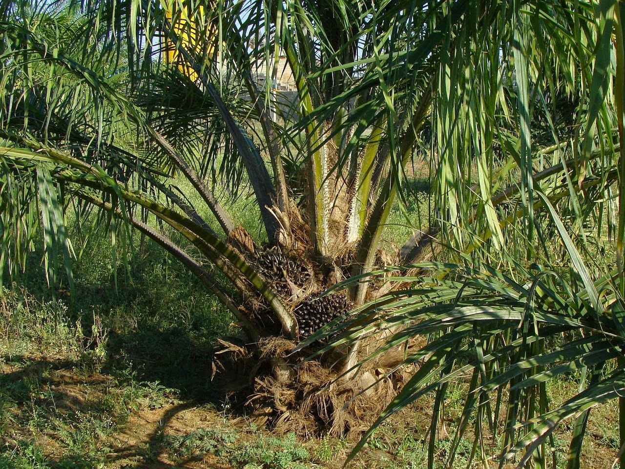 Olio di palma la storia dell 39 olio pi commercializzato al - Storia di palma domenica ks1 ...