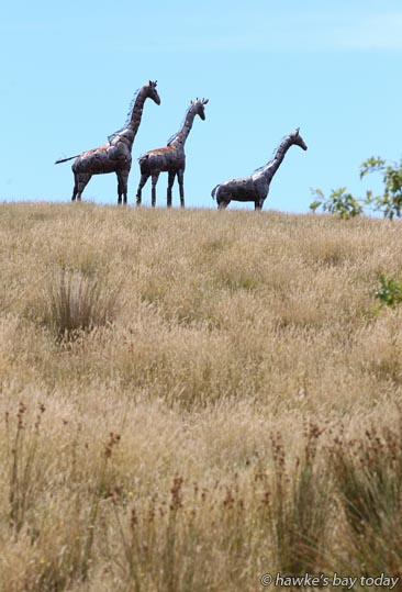 Giraffes in drought, Pourerere photograph