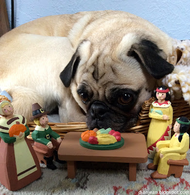 Liam the pug thinks about eating the Thanksgiving props