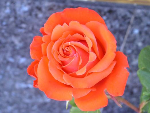 El sentido del saber abril 2013 - Fotos de rosas de colores ...