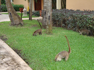 Coati family searching for food
