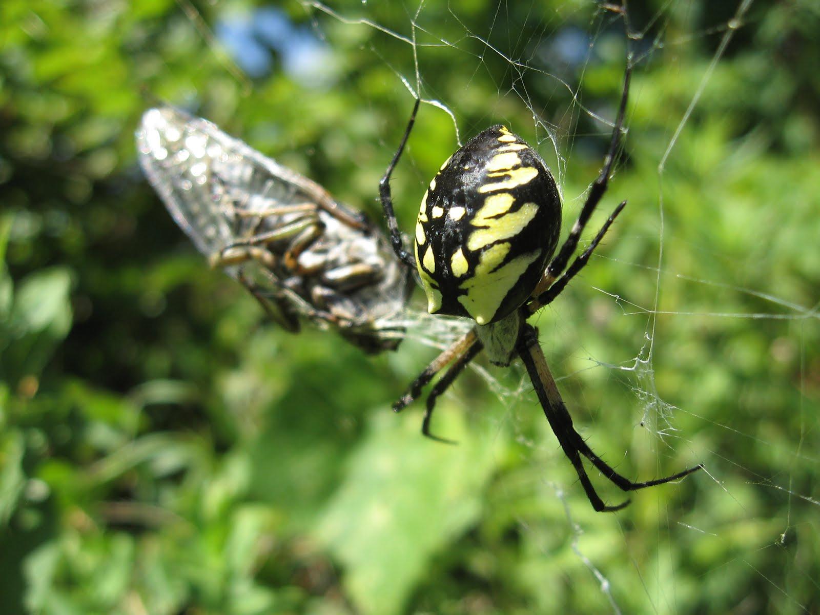 Tangled Web Black And Yellow Argiope Argiope Aurantia