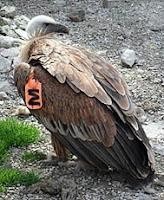 Lešinar sa krilnim markerom