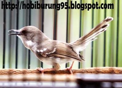 Daftar Harga Burung Ciblek | Perenjak Tahun 2015 Terbaru