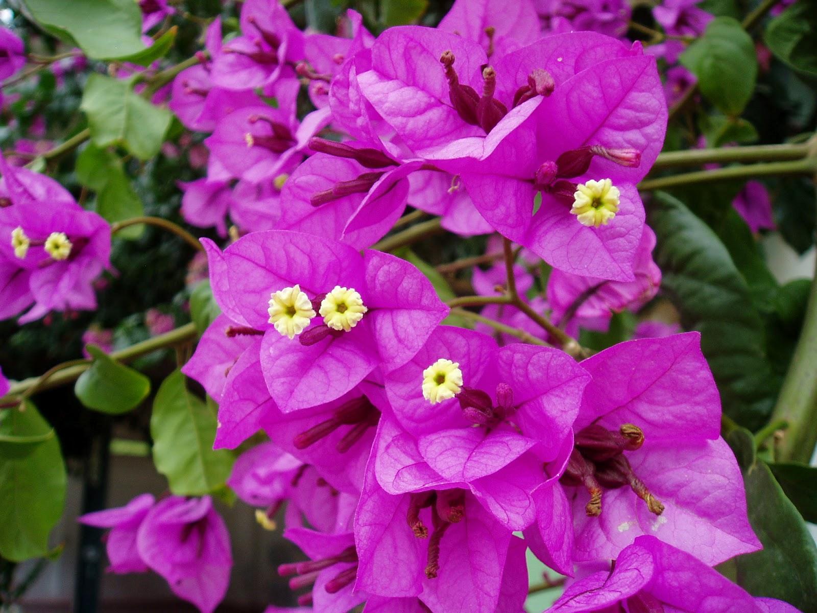 Buganvilla bougainvillea glabra plantas riomoros for Hojas ornamentales