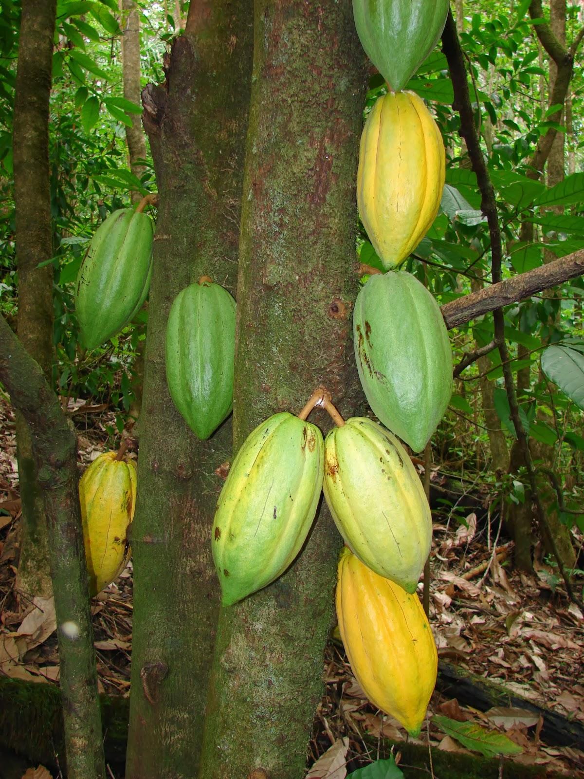 Ciencias para el mundo contempor neo theobroma cacao l for Actividades que se realizan en una oficina wikipedia