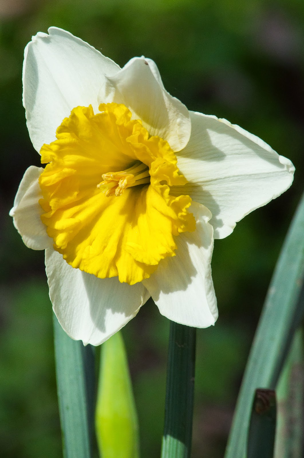 Daffodil, River Legacy Parks