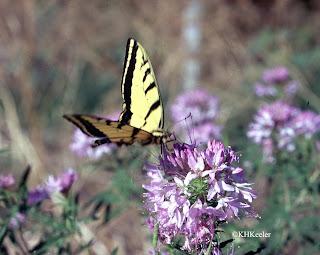 Rocky Mountain bee plant, Cleome serrulata