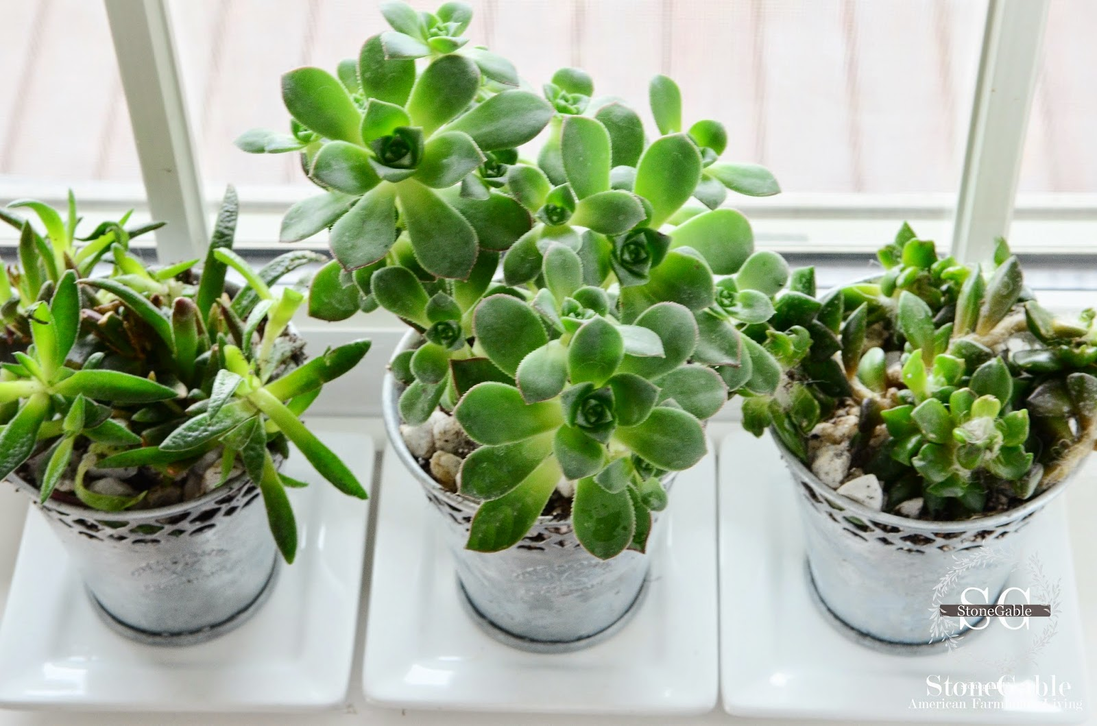 Stonegable Succulents Care Of A Trendy Plant
