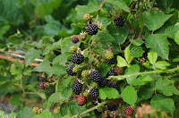 Blackberries to go with the apples