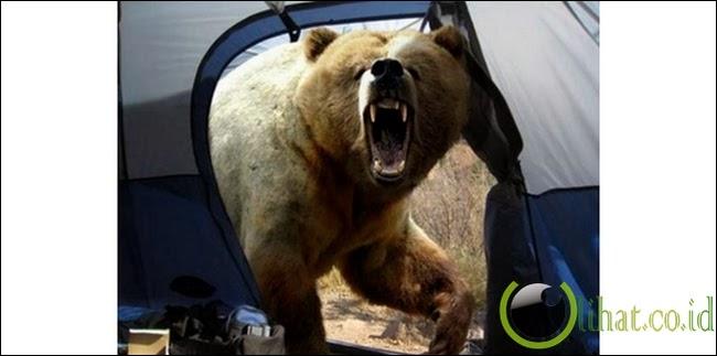 Diserang Beruang