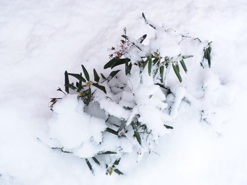 kasvi lumen alla