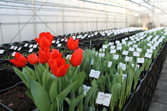 vws-flowerbulbs-tulips